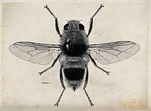 The ox warble fly (Hypoderma bovis). Pen and ink drawing by Wellcome V0022585.jpg