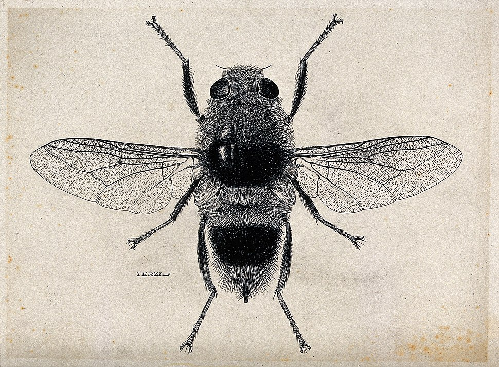 The ox warble fly (Hypoderma bovis). Pen and ink drawing by Wellcome V0022585