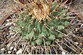 Thelocactus riconensis pm1.jpg