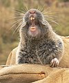 Thomomys mazama mouth agape.jpg
