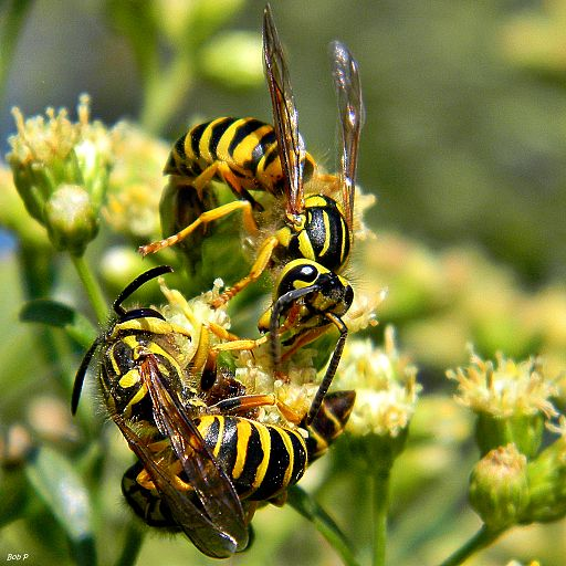 Three Southern Yellowjackets (Vespula squamosa)