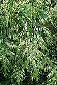 Thuja plicata Zebrina kz2.jpg