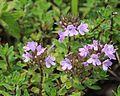 Thymus quinquecostatus (flower s2).JPG