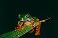 Tiger-striped Leaf Frog (Phyllomedusa tomopterna) (10381862644).jpg