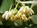 Tilia chingiana flowers 2.jpg
