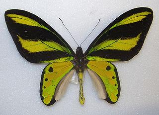 <i>Ornithoptera tithonus</i> species of insect