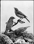 Tooth-Beaked Bower Birds (4903247473).jpg