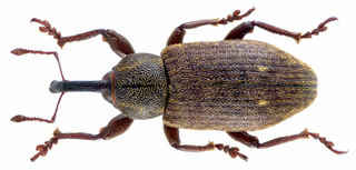 <i>Tournotaris bimaculatus</i> species of insect