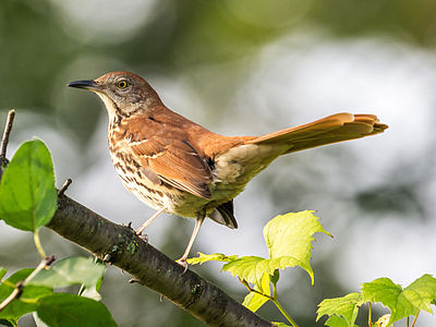 Brown thrasher (Toxostoma rufum), Owen Conservation Park, Madison, Wisconsin, United States