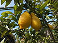 Trauttmansdorff gardens - Citrus x limon Spatafora 02.JPG