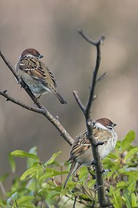 Tree Sparrow Lodz(Poland)(js)03.jpg