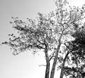 Tree at Mount Mulanje (15695179602).jpg