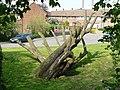 Tree in Beddington - geograph.org.uk - 1268265.jpg