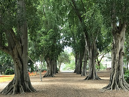 Moreton Bay figs at the City Botanic Gardens Tree lined avenue at the City Botanic Gardens, Brisbane.jpg