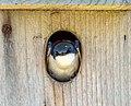 Tree swallow in a nest box in JBWR (24603).jpg