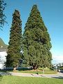 Treffen sequoia tree 11052008 31.jpg