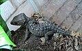 Tribolonotus gracilis.jpg