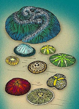 Trilobozoa - Image: Tribrachiidae