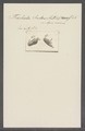 Trichoda index - - Print - Iconographia Zoologica - Special Collections University of Amsterdam - UBAINV0274 113 15 0040.tif