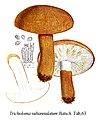 Tricholoma subannulatum-Icon-Mycol.-Tab-63.jpg