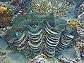 Tridacna squamosa Maldives.JPG