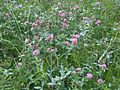 Trifolium pratense wetland 2.jpg