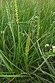 Triglochin maritimum plant (10).jpg