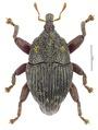Trigonopterus kurandensis Riedel, holotype.tif