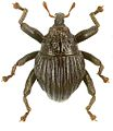 Trigonopterus sulcatus holotype - ZooKeys-280-001-g086.jpg