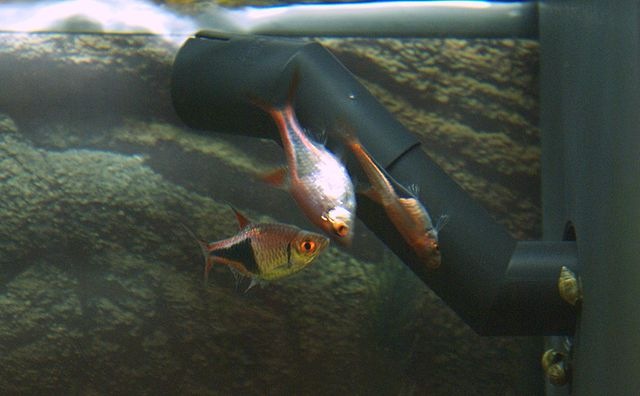 Breeding Harlequin Rasboras