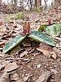 Trillium reliquum typical flower.jpg