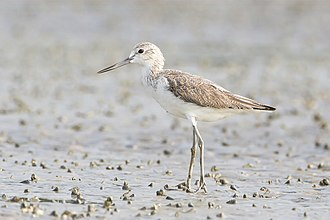 Common greenshank - Winter plumage, Laem Phak Bia, Thailand
