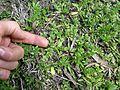 Triptilodiscus pygmaeus habit2 NT - Flickr - Macleay Grass Man.jpg