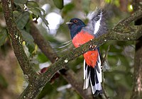 Trogon surrucura male.jpg