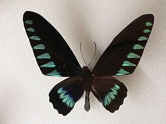 Trogonoptera trojana - Adult male dorsal surface
