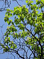 Trompetenbaum Blüte.JPG