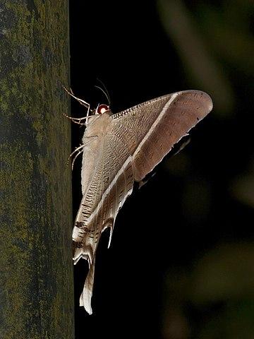 Sưu tập Bộ cánh vẩy 2 - Page 25 360px-Tropical_Swallowtail_Moth_%28Lyssa_zampa%29_%2815703505262%29
