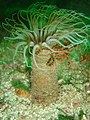 Tube anemone with spider crab at D-frame.jpg