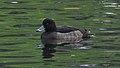 Tufted Duck (Aythya fuligula) - Oslo, Norway 2020-11-08 (02).jpg
