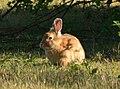 Tukwila, WA - Rabbits near W. Marginal Way and S 102nd Street 08 (cropped).jpg