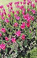 Tulipa 'PRETTY WOMAN' M1.jpg