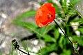 Tunisia-2930 - Poppy for the Children (7916877074).jpg