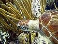 Turtle Closeup Green Turtle (7342881206).jpg