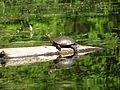 Turtle on a log (13547451633).jpg