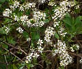 Twig with blackthorn flowers 2.jpg