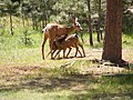 Two fawns suckling, Black Forest of Colorado.jpg