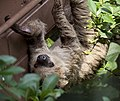 Two toed Sloth 1 (4871864739).jpg
