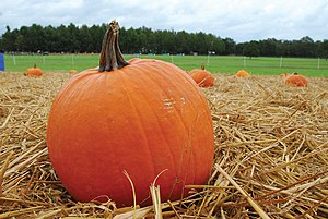English: The pumpkin patch fills up during the...