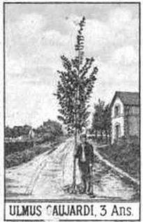<i>Ulmus</i> × <i>hollandica</i> Gaujardii Elm cultivar