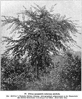 <i>Ulmus minor</i> Propendens Elm cultivar